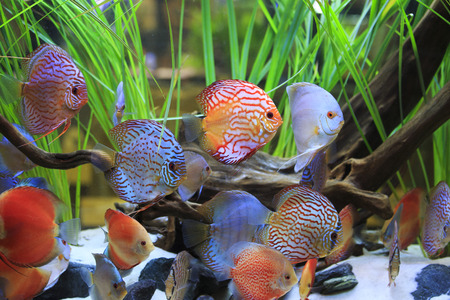 symphysodon discus in a tank with aquatic plants photo