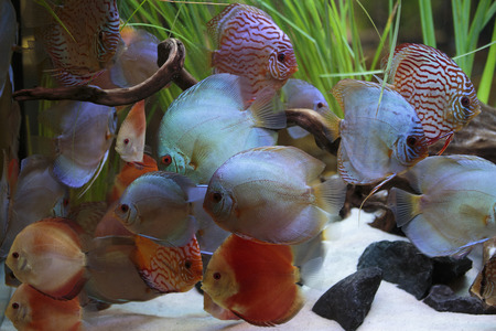 discus: Planted aquarium with discus Stock Photo