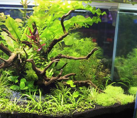 amano: Plant in aquarium Stock Photo