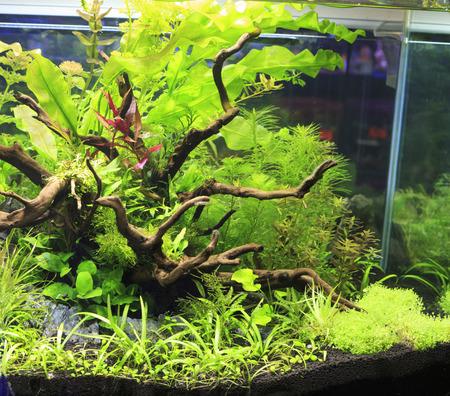 amano: Plant in an aquarium