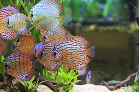 diskus: Diskus fishes Stock Photo