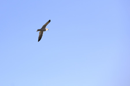 seagull soaring over the sea  photo