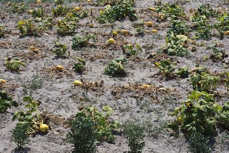 melon field: Ripe Melon on Field