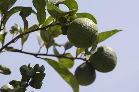 naranja arbol: �rbol anaranjado en el verano