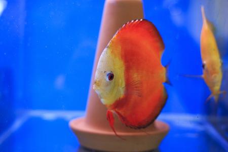 discus: Red discus in tank