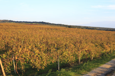 non cultivated land: Vineyard in autumn.