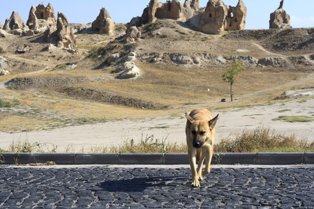 kangal: Dog in the Amazing geological features in Cappadocia, Turkey