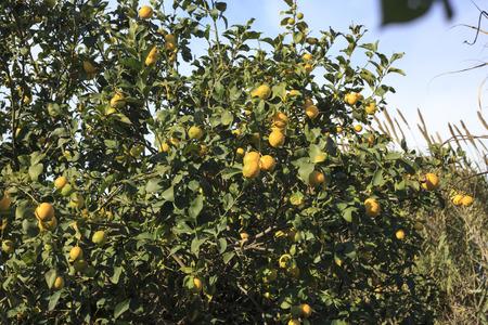 lemon tree: �rbol de lim�n en jard�n mediterr�neo Foto de archivo