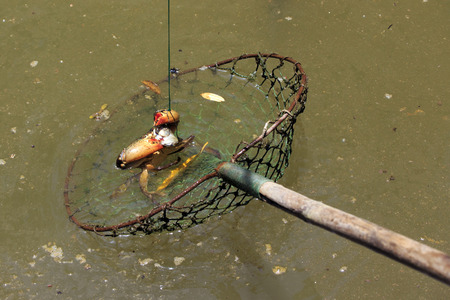 outdoor pursuit: Crabs dangling from a fishing net