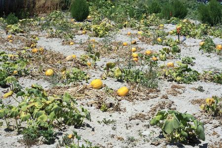 melon field: Yellow melon field