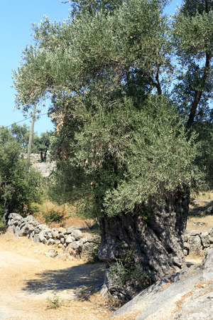 historic world event: Olive tree in Turkey