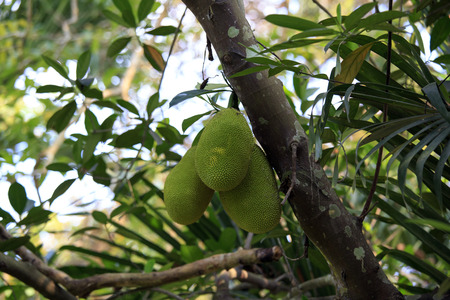 entebbe: Cluster of breadfruits on the tree - artocarpus altilis - the football-size pod is full of nutrients and energy but its taste is very bland Stock Photo