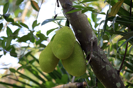 Cluster of breadfruits on the tree - artocarpus altilis - the football-size pod is full of nutrients and energy but its taste is very bland Stock Photo
