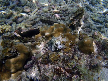 blenny: blenny (Salarias fasciatus) in tropical sea