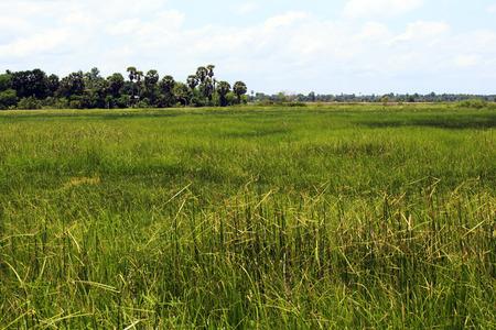 padi: Rice field in Asia