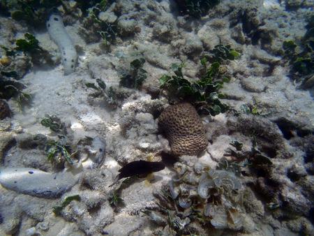sea cucumber: sea cucumber in the water