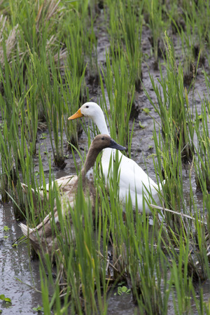 two faced: two ducks in a rice field Stock Photo