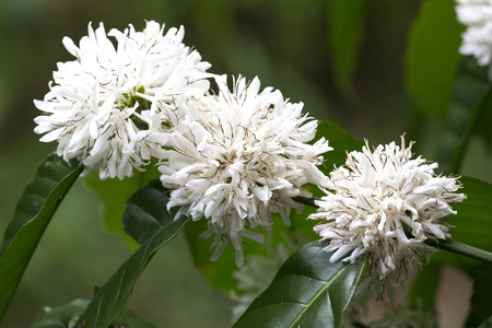 planta de cafe: Árbol de café con la flor blanca del café en las plantaciones de café