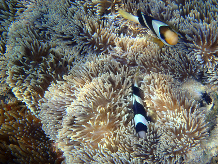 symbiotic: anemonefish on anemone Stock Photo