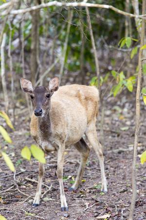 komodo island: Komodo island national park in Indonesia deer Stock Photo