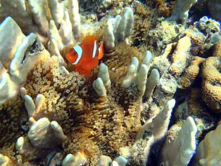 ocellaris: anemonefish on anemone Stock Photo