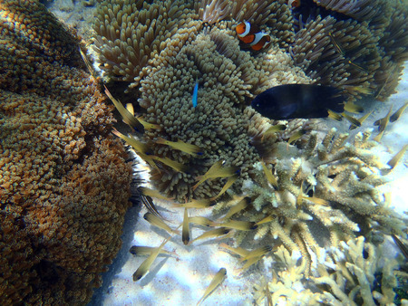 live coral: Coral fish in Indonesia