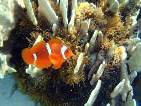 clownfish: Un pez payaso de cerca en su h�bitat natural