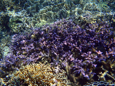 scleractinia: colorful coral reef at the bottom of tropical sea, underwater Stock Photo