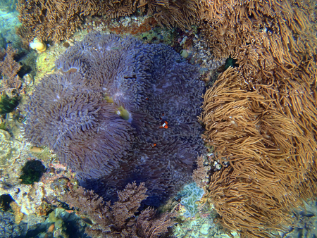 stony corals: colorful coral reef at the bottom of tropical sea, underwater Stock Photo
