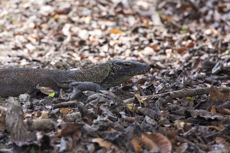 cold blooded: Komodo dragon at komodo national park, Indonesia