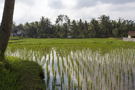 ubud: Rice Field in Ubud, Bali, Indonesia