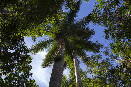 royal: The Royal Palm Tree is the Cuban National Tree a symbol of the Caribbean country.