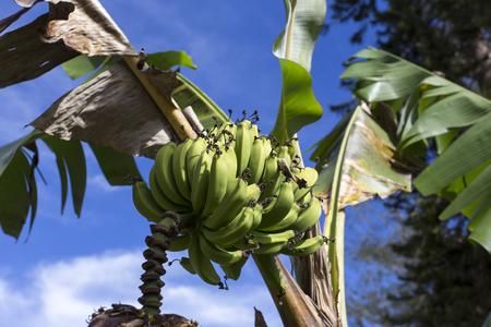 banana tree: banana on tree in Cuba