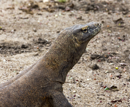 coldblooded: Komodo Dragon, the largest lizard in the world. Indonesia
