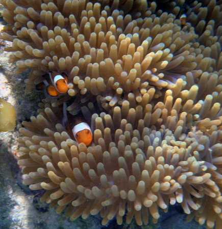 amphiprion: Clown Anemonefish, Amphiprion percula, swimming among the tentacles of its anemone home. Stock Photo