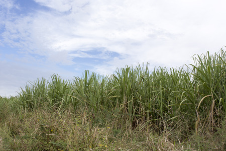 sugarcane: Sugarcane field in Cuba
