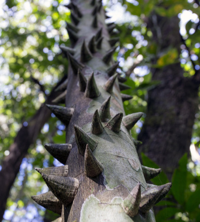 trees with thorns: Tropical green tree trunk covered with large sharp thorns (Floss Silk Tree). Stock Photo