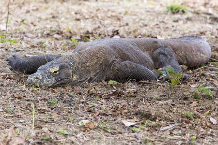 forked tail: The Komodo dragon, Varanus komodoensis, is the biggest living lizard in the world, Indonesia.