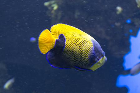 pygoplites diacanthus: Angel fish swimming close up