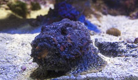 scorpionfish: scorpionfish in aquarium close up Stock Photo