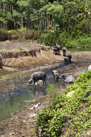 shepherd herding water buffalo along the highway in Indonesia Stock Photo