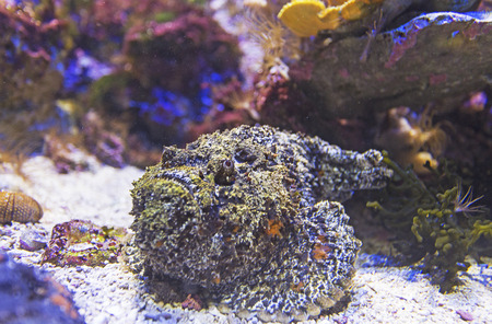 scorpionfish: Scorpionfish on the coral reef view