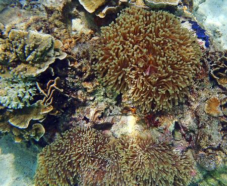 hard coral: anemone fish and soft coral at Andaman sea Thailand