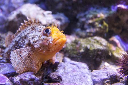 scorpionfish: scorpionfish close up portrait Stock Photo