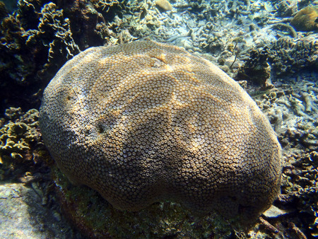 hard coral: Tropical coral reef in Indonesia  Stock Photo