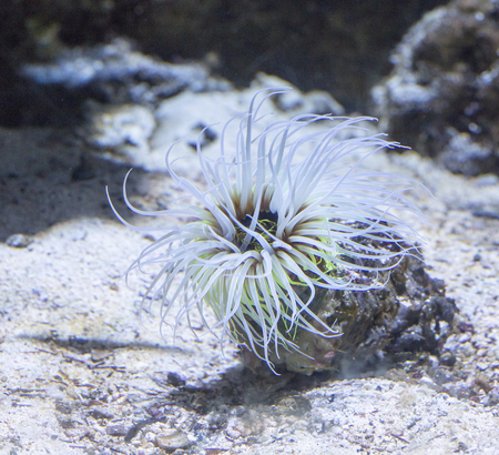 close up view of a Cerianthus, also known as the coloured tube anemone
