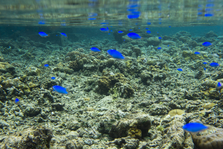 blue fishes and corals in Indonesia