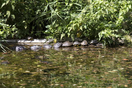 group of turtle in a small lake, Italy