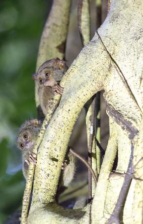 tarsius on a tree at Tangkoko national park