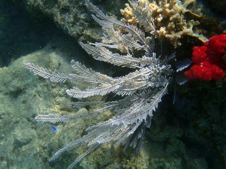 Gorgonia view under the sea of Indonesia Stock Photo